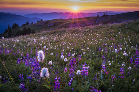 Mountain wildflowers in Oregon, backlit by sunset Stock Photo