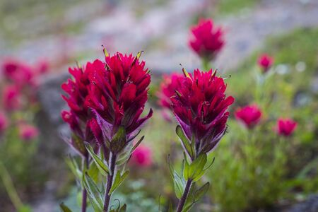 Red paintbrush looming on mountain slope and Oregon Stock Photo - 22760941