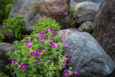 Scarlet monkey flowers blooming among rocks in high mountain environment Stock Photo - 22760950