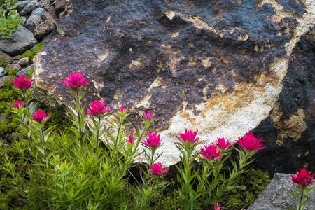 Red paintbrush looming on mountain slope and Oregon Stock Photo - 22760951