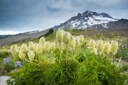 Western Pasque flower blooming in high mountain meadow beneath Mt. hood, Oregon Stock Photo - 22760953