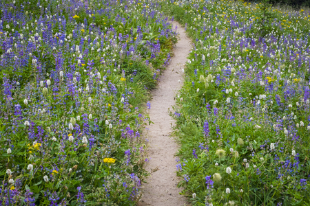 Hiking trail passing through field of mountain wildflowers Stock Photo - 22760955