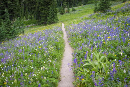 Hiking trail passing through field of mountain wildflowers