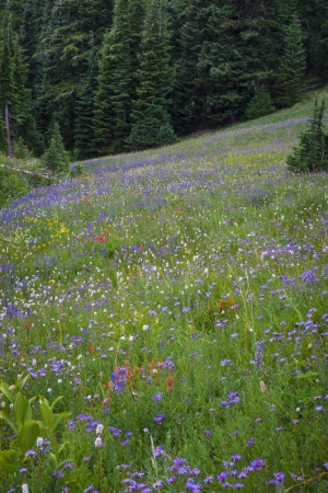 Field of wildflowers in a high mountain setting Stock Photo - 22760960