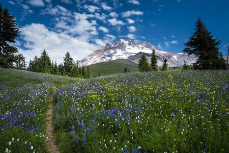 oregon cascades: Hiking trail leading to Mt. hood in the Oregon Cascades