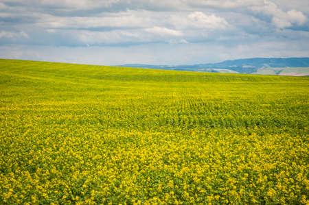Mustard fields under a summer clouds in Washington State Stock Photo