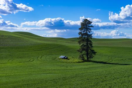 palouse: Green fields of wheat in the Palouse region of Washington state