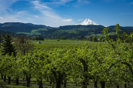 cascade range: Snowy mount hood among apple orchards in the hood River Valley, Oregon Stock Photo