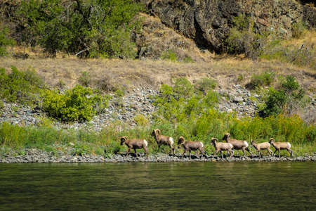 borrego cimarron: O�do del borrego cimarr�n en Hells Canyon, Idaho Foto de archivo