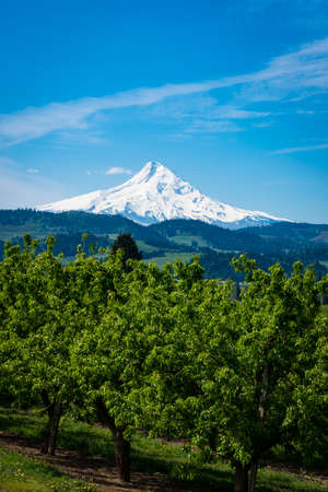 cascade range: Snowy Mount Hood and apple orchards in the Hood , Oregon River Valley