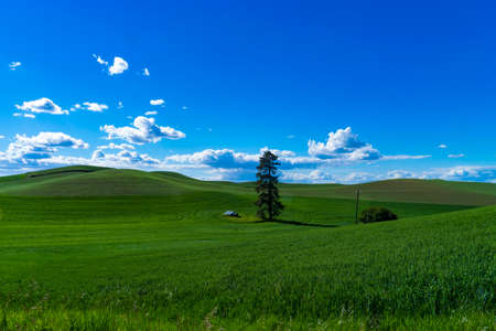 washington state: Green fields of wheat in the Palouse region of Washington state