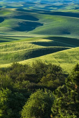 green wheat: Fields of green wheat in the Palouse region of Washington state