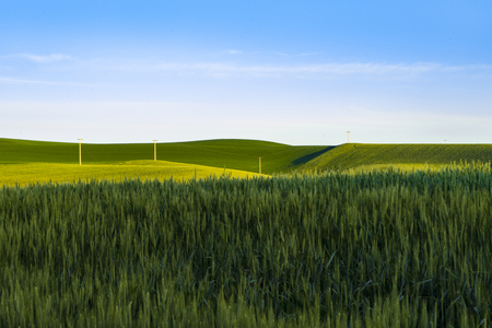 palouse: Fields of green wheat in the Palouse region of Washington state