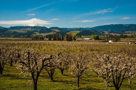 mount hood: Blooming apple orchards and Mount Hood, Hood River Valley, Oregon Stock Photo