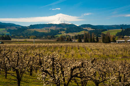 Blooming apple orchards and Mount Hood, Hood River Valley, Oregon Stock Photo