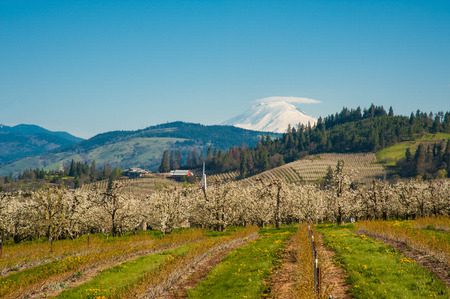 adams: Blooming apple orchards and Mount Adams, Hood River Valley, Oregon