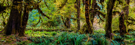 olympic national park: Trees in the Hoh Rain Forest in Washington states Olympic national Park Editorial