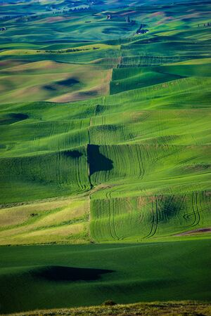 Fields of green wheat in the Palouse region of Washington state