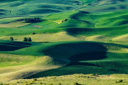 Fields of green wheat in the Palouse region of Washington state