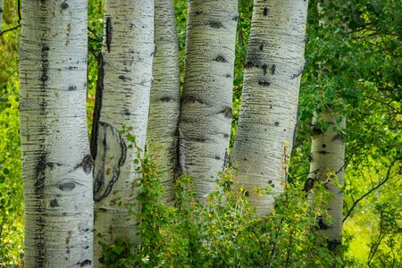 scarred: White, scarred trunks of aspen trees in a forest