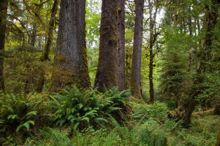 Trees in the Hoh Rain Forest in Washington states Olympic national Park Editorial