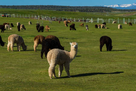 cascade range: Alpaca herd grazing green grass on a ranch Stock Photo
