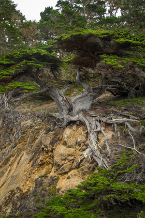 Big groups of famous Old Veteran cypress tree at point Lobos, California