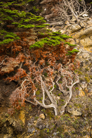 Old cypress trees at point Lobos, your Big Sur, California