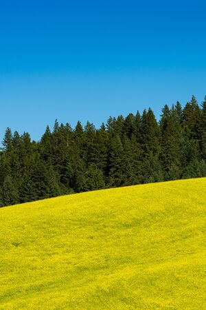 Fields of canola flowers in Palouse region of Washington state Stock Photo