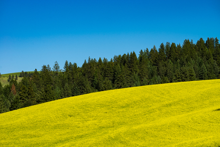 Fields of canola flowers in Palouse region of Washington state Stock Photo