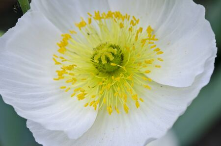 Close-up of white and yellow poppy flower in garden
