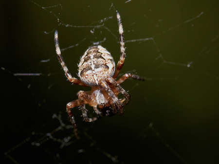 cross spider photo
