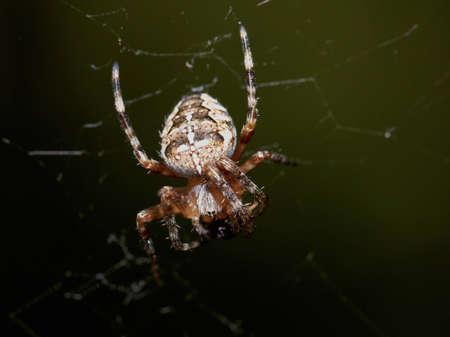 cross spider Stock Photo