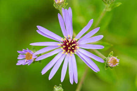 Aster flower Stock Photo - 15008402