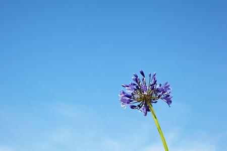 Agapanthus africanus - Love Flowers Stock Photo