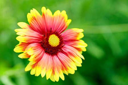 Gaillardia - Flower Painting