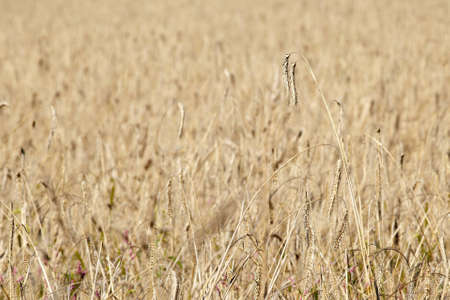 close-up of cereal plantation, Germany Stock Photo
