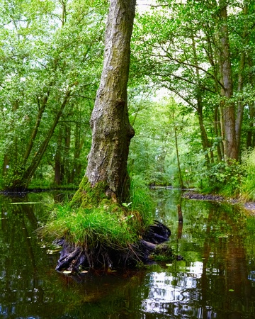 tree root in swamp at Birkenwerder, Germany