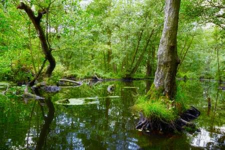 tree root in swamp at Birkenwerder, Germany
