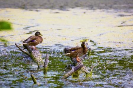 duck in the marsh in Briesetal at Birkenwerder