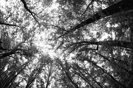 Tall Green Tree Forest 免版税图像