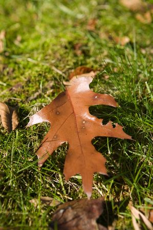 Maple Leaf laying on grass