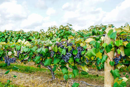 The concord grapes in northeast Ohio are almost ripe you can tell by the sweet aroma they put in the air.