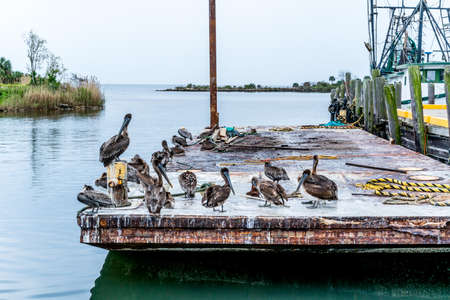 A bunch of Pelicans hanging around the fish market in Pensacola Florida hoping to get some scraps. 스톡 콘텐츠