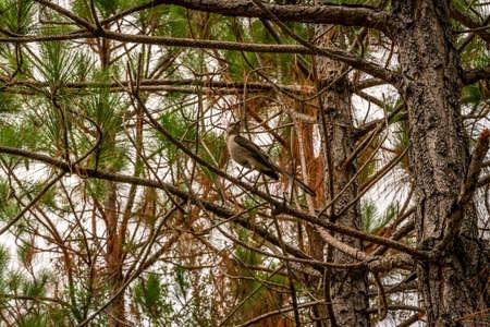 A bird in a pine tree singing a wonderful tune.