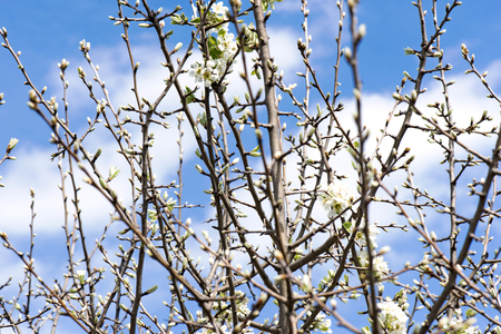 pyrus: The Callery pear (Pyrus calleryana) flower in spring Stock Photo