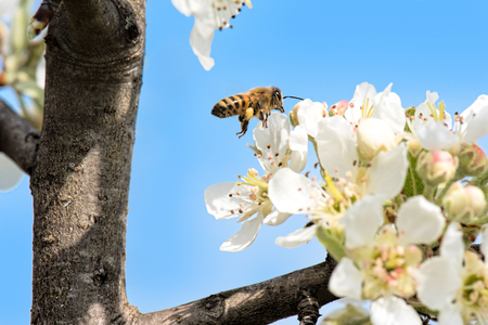 pyrus: The Callery pear (Pyrus calleryana) flower and bee in spring Stock Photo