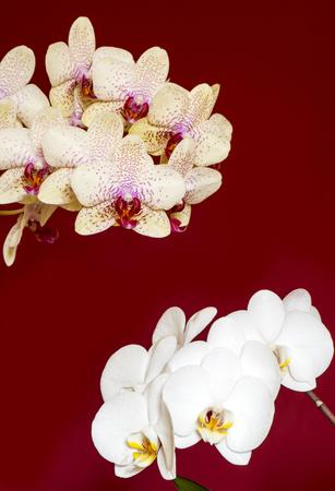 aphrodite: Orquídea, Phalaenopsis amabilis y Phalaenopsis híbrida Aphrodite sobre fondo rojo Foto de archivo