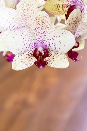 the aphrodite: Orquídea, Phalaenopsis híbrida Afrodita en el fondo de madera Foto de archivo