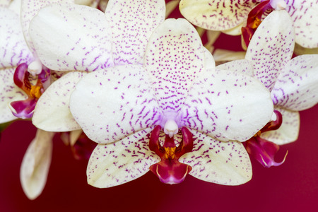 afrodita: Orqu�dea, Phalaenopsis h�brida Aphrodite sobre fondo rojo Foto de archivo